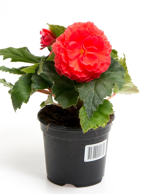 Knoldbegonia - Rosa