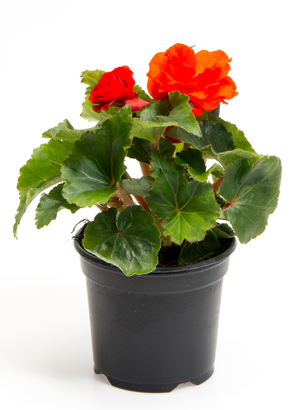 Knoldbegonia - Orange